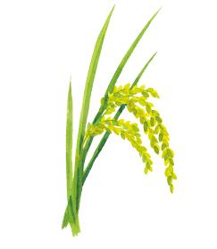 Rice/rice bran ceramides (glucosylceramide)