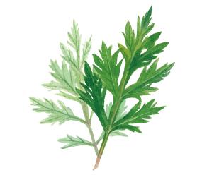 Mugwort leaf extract